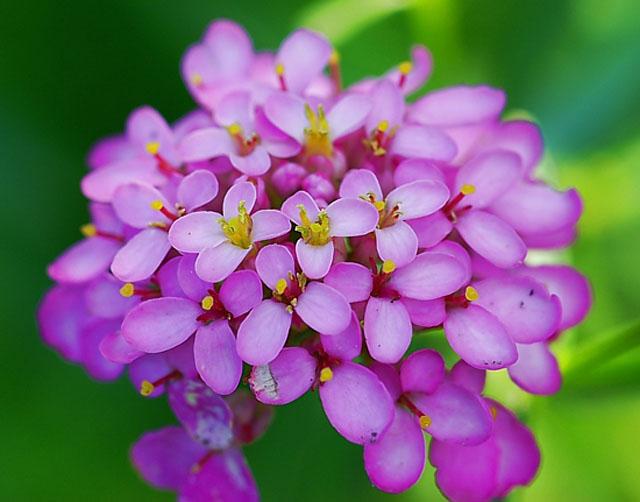 Иберис – цветущие облака