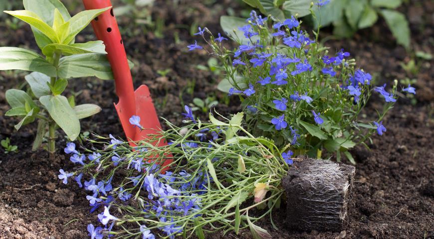 Нежная лобелия: выращивание и уход за цветочным облаком