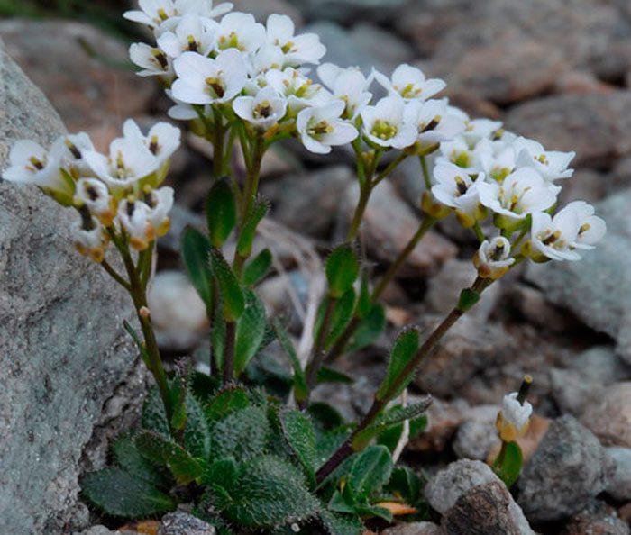 """Выращиваем """"альпийского гостя"""": посадка и уход за арабисом"""