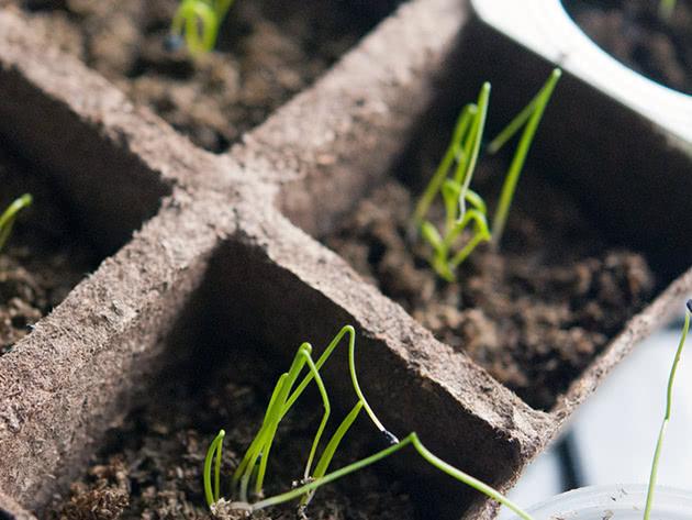 Как вырастить лучшую рассаду лука Эксибишен