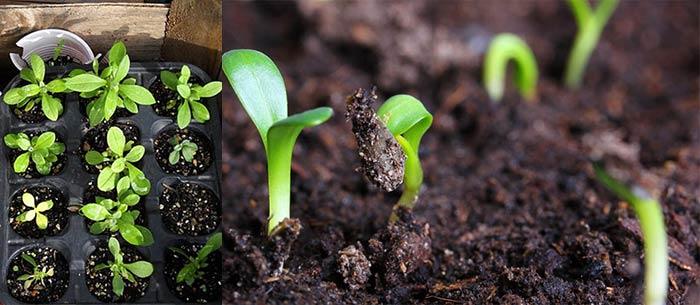 """Все о том, как вырастить ясколку - """"рогатый цветок"""""""