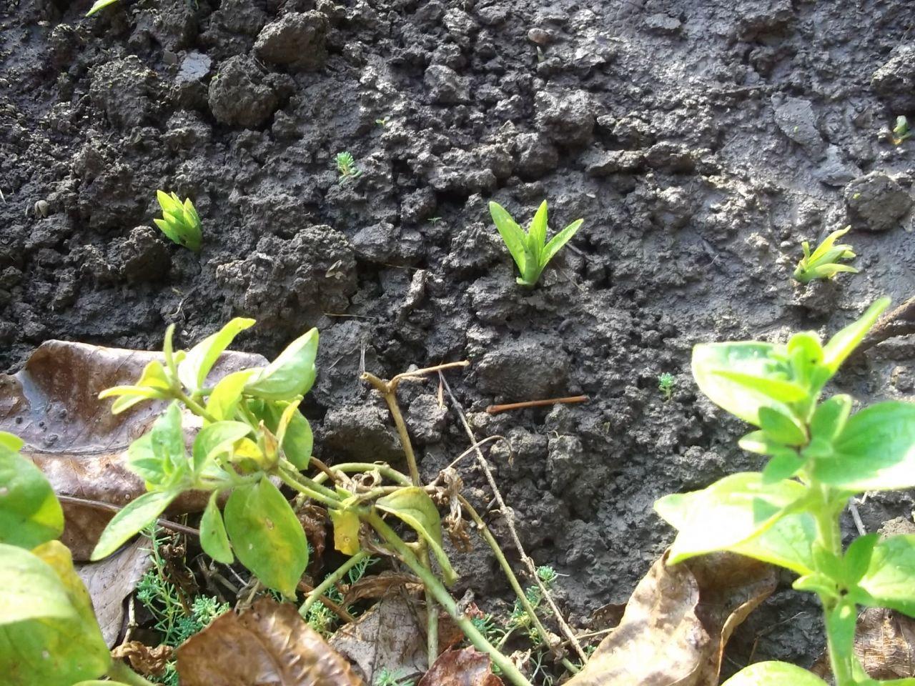 Все тайны о выращивании неженок-анемон
