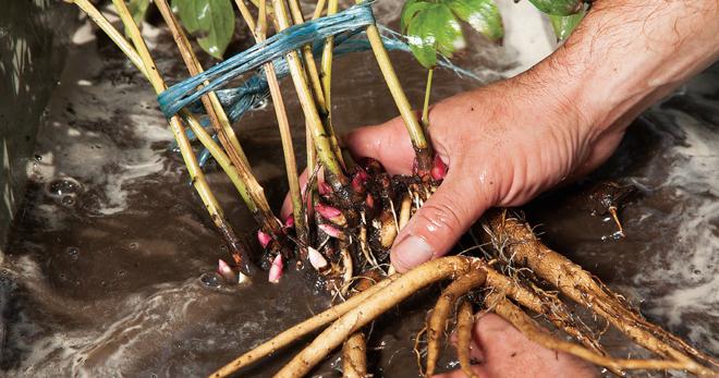 Древовидные пионы: как посадить и вырастить