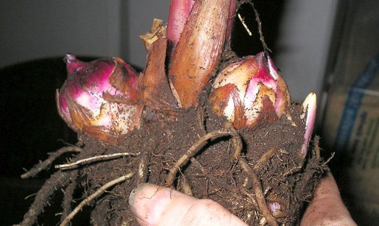 Секреты выращивания канны: посадка и уход