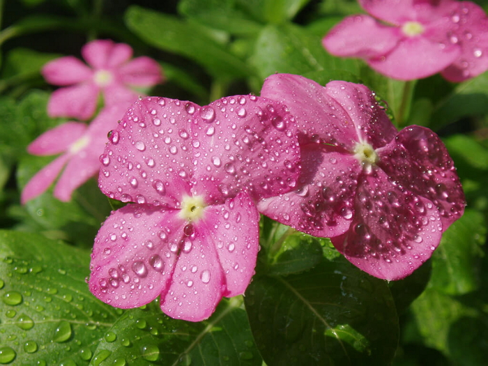 Посадка, выращивание и уход за цветком Ванька Мокрый