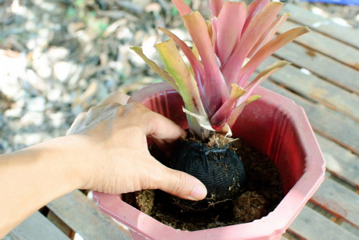 Гузмания - как посадить и вырастить в домашних условиях