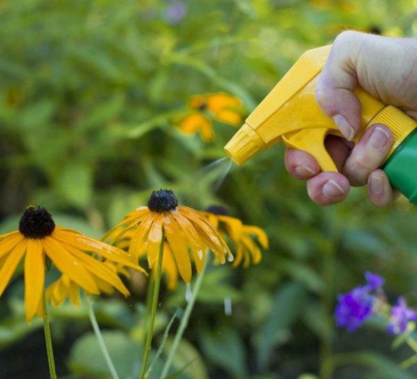 Многолетняя рудбекия – солнце на грядке