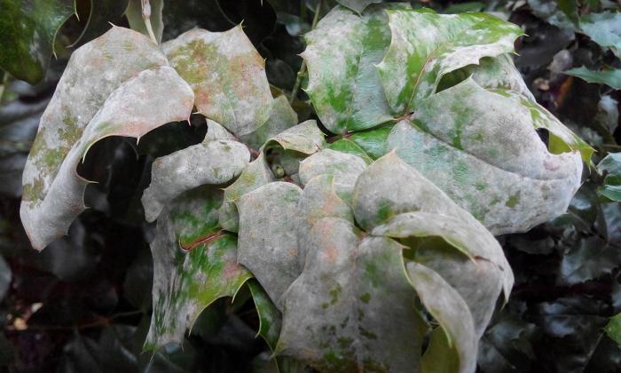 Вечнозеленая и съедобная Магония Падуболистная