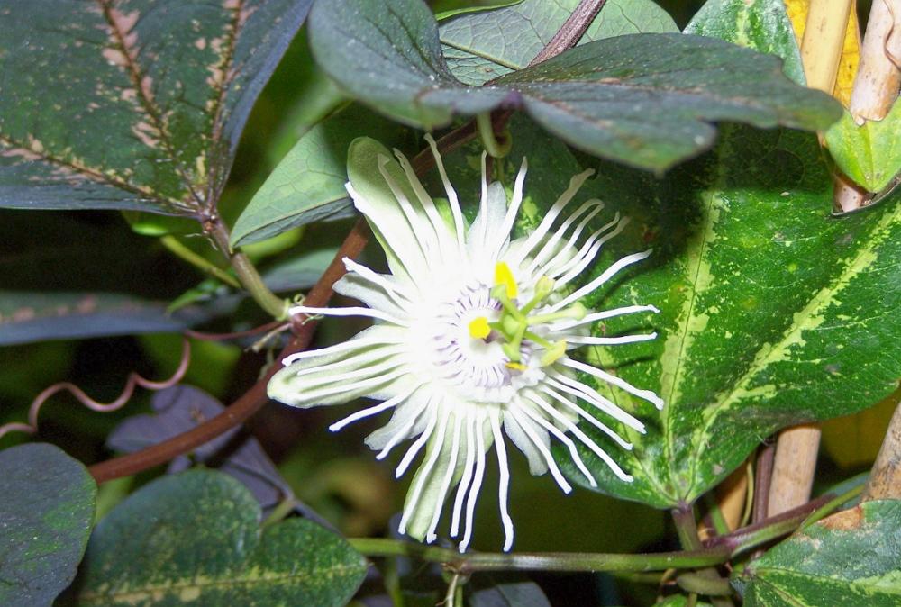 Пассифлора – вечнозеленая лиана с невиданной красоты цветами