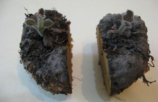 Бегония клубневая – посадка и уход: секреты лучших садоводов