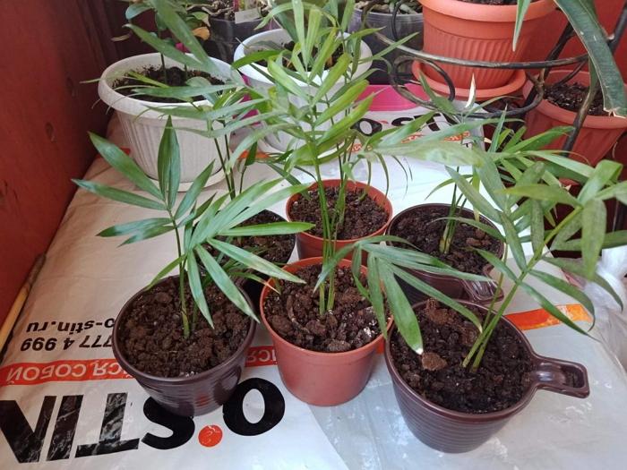 Хамедорея - посадка, выращивание и уход
