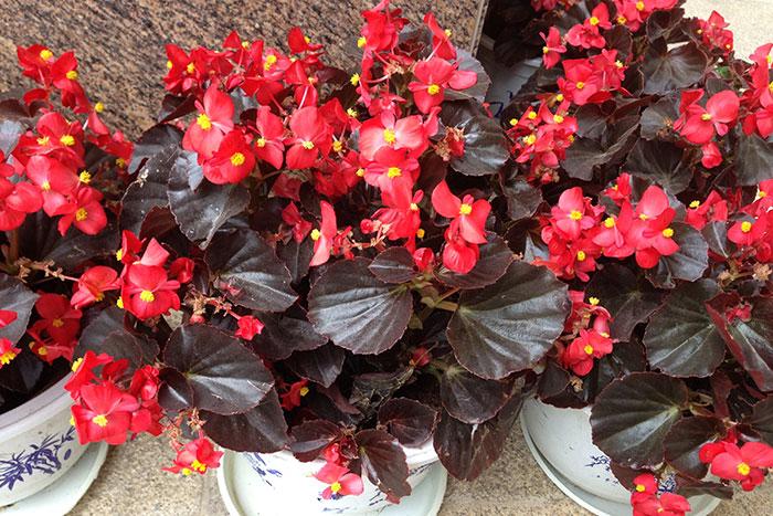 Бегонии, цветущие вечно: выращиваем своими руками