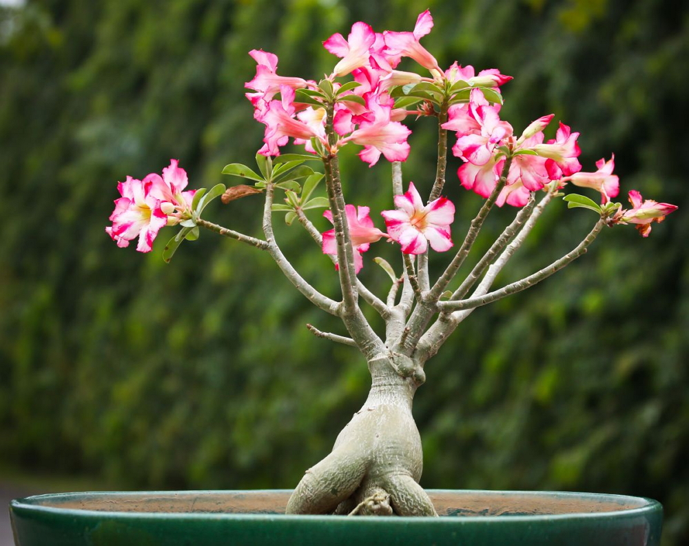 Адениум — роза пустыни