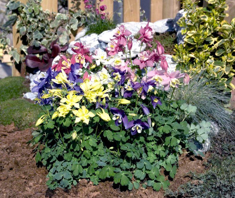 Аквилегия — сказочный цветок эльфов в вашем саду