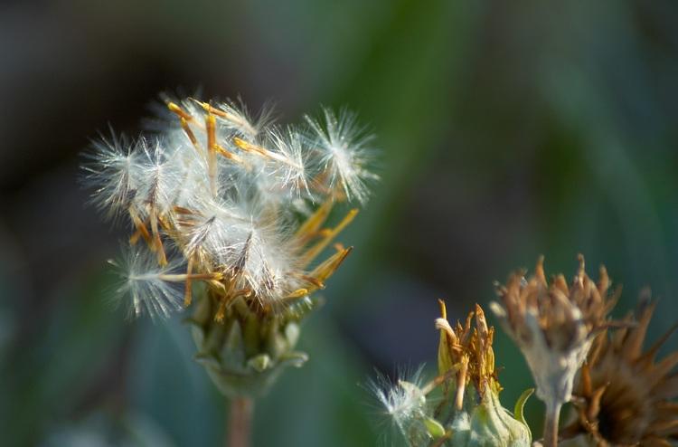 Газания — солнечная «ромашка» родом из Африки