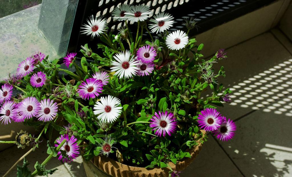 Мезембриантемум — «хрустальная трава»: посадка и уход