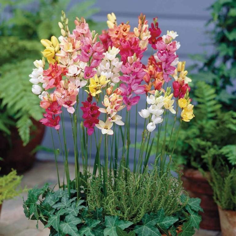 Цветок Иксия - посадка и уход в открытом грунте