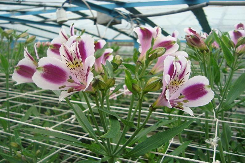 Альстромерия - волшебный цветок Инков