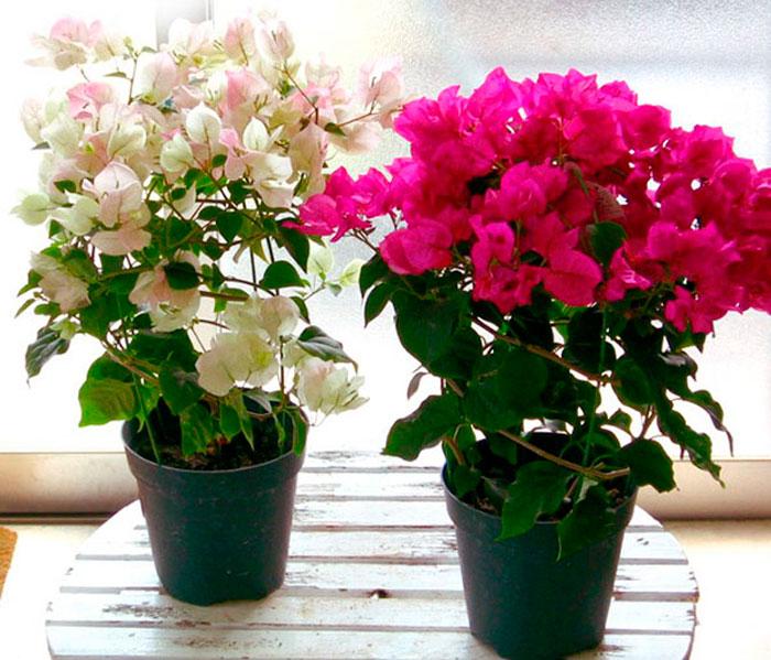 Цветок Бугенвиллия - капризная красавица из Южных стран
