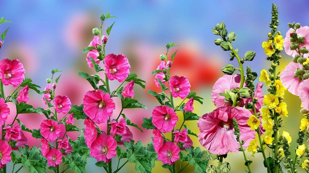 Мальва или Шток роза: посадка и уход в открытом грунте