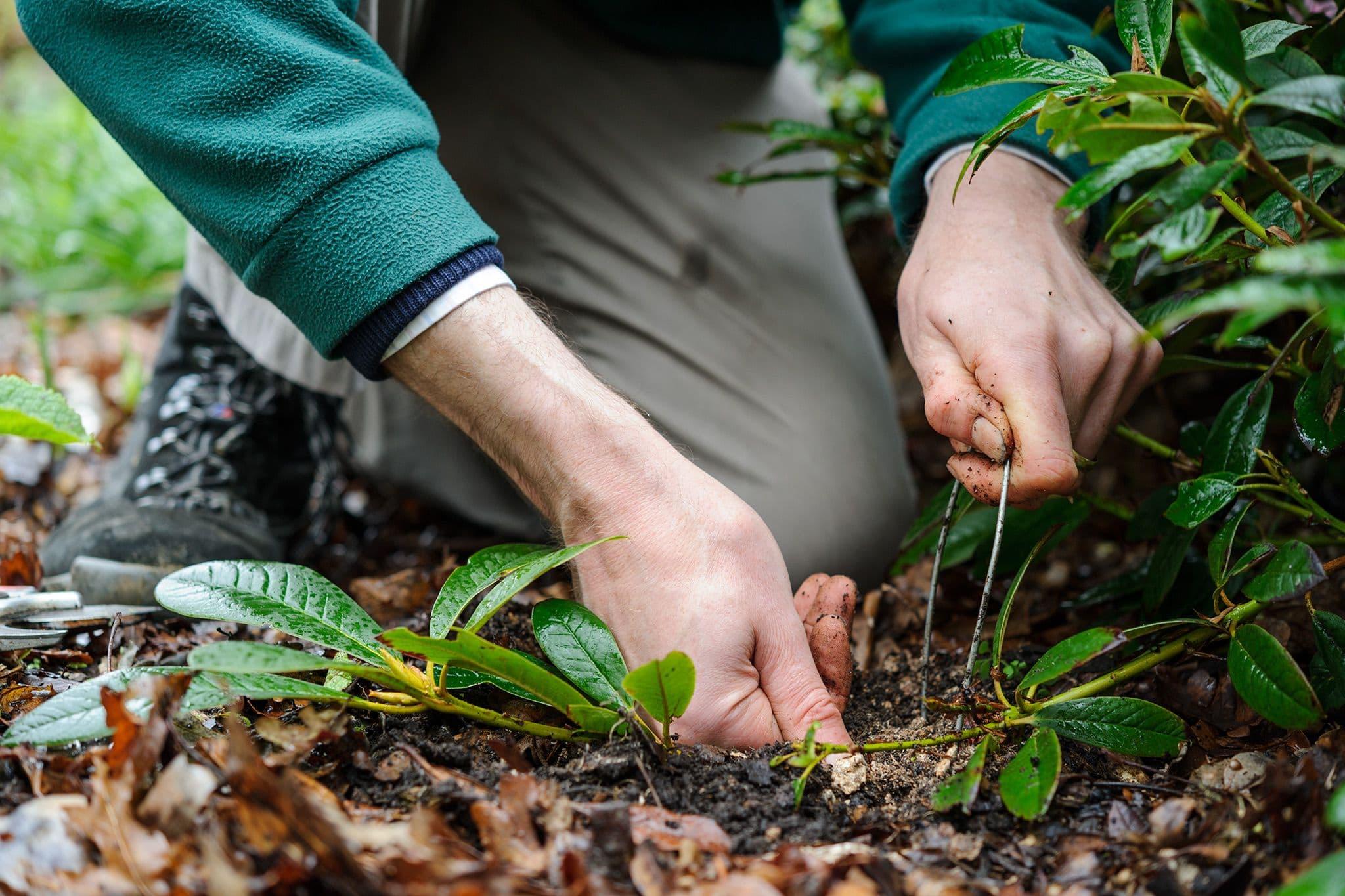 Рододендрон – красивая фантазия природы
