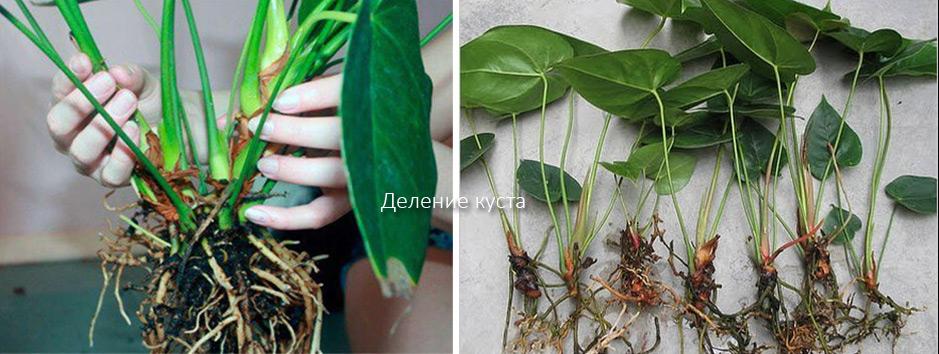 Аглаонема - неприхотливое и полезное растение
