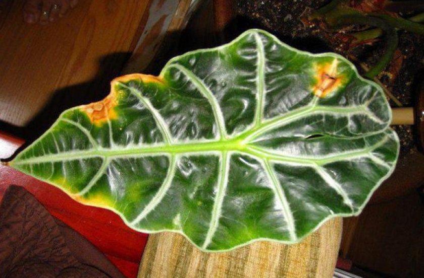 Алоказия - экзотический тропический цветок