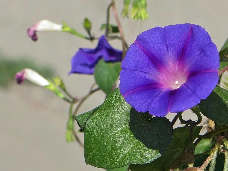 Цветок Ипомея  - неприхотливый вьюнок