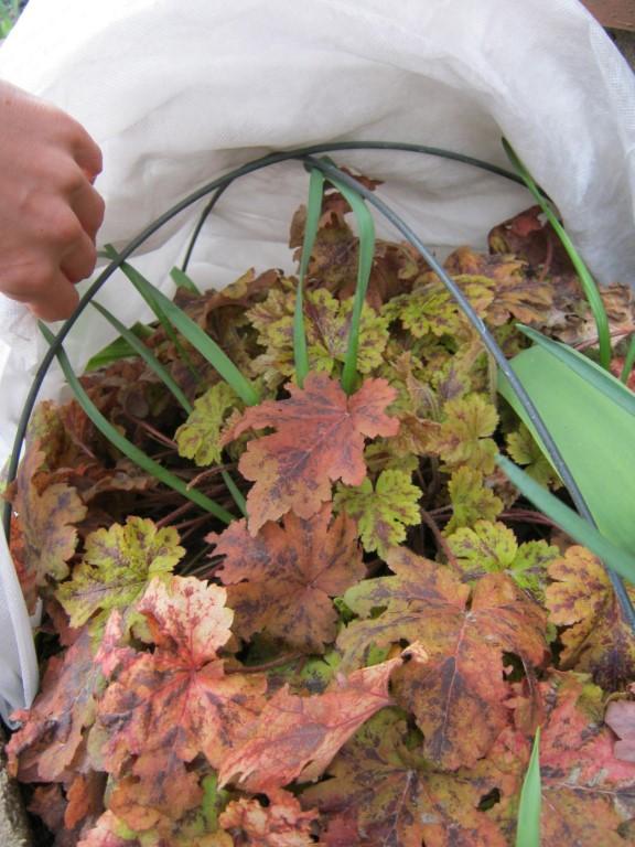 Гейхера в саду: посадка, выращивание и уход