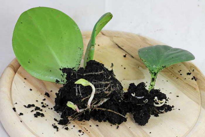 Причудливая пеперомия - выращивание и уход