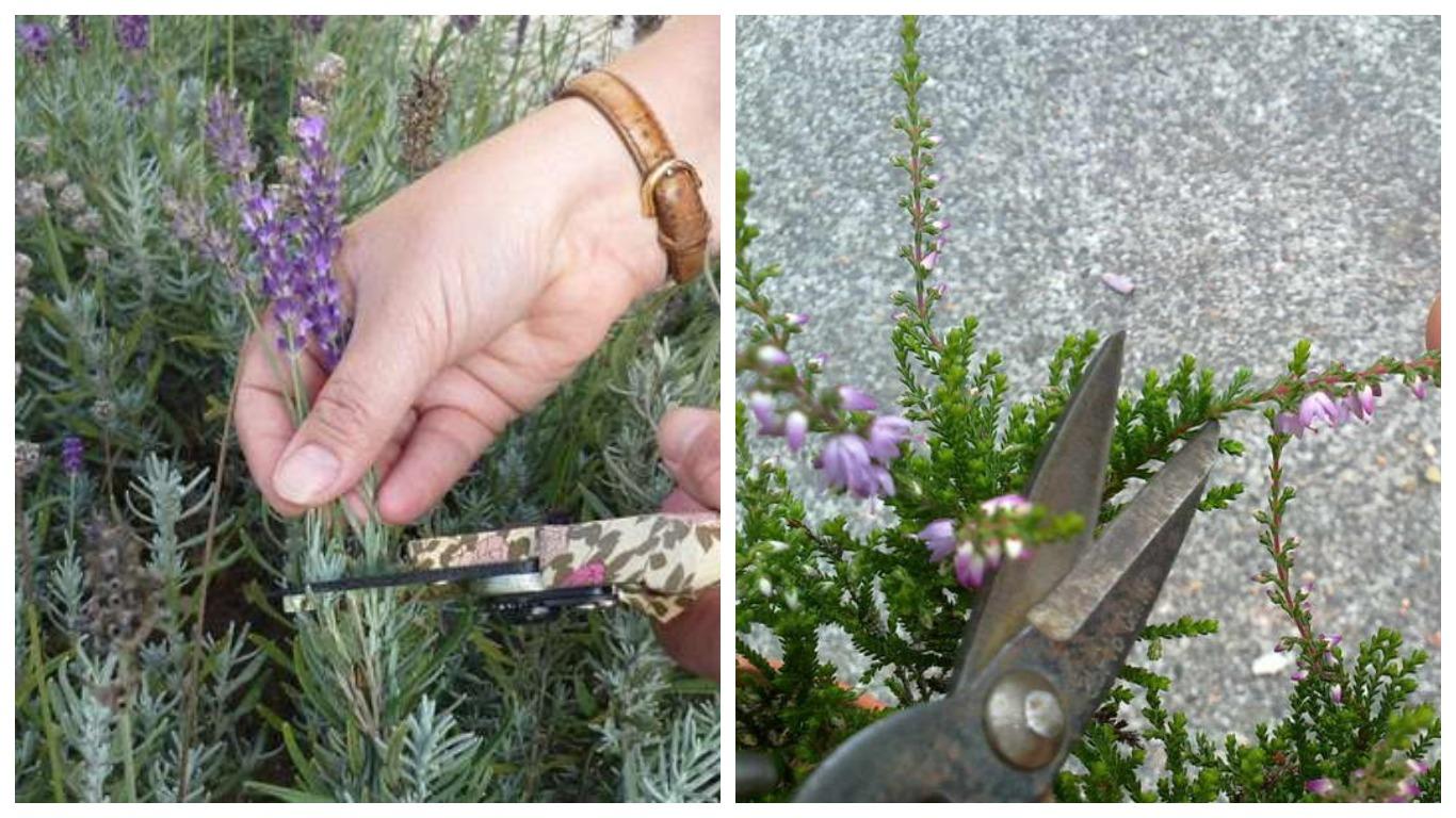 Вереск - красивый вечнозеленый цветок