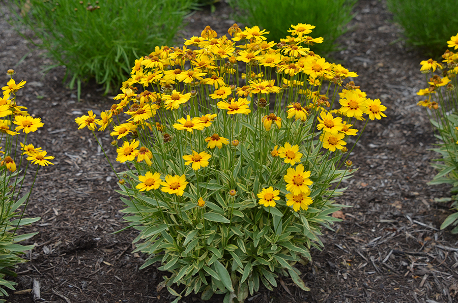 Кореопсис — цветок солнца