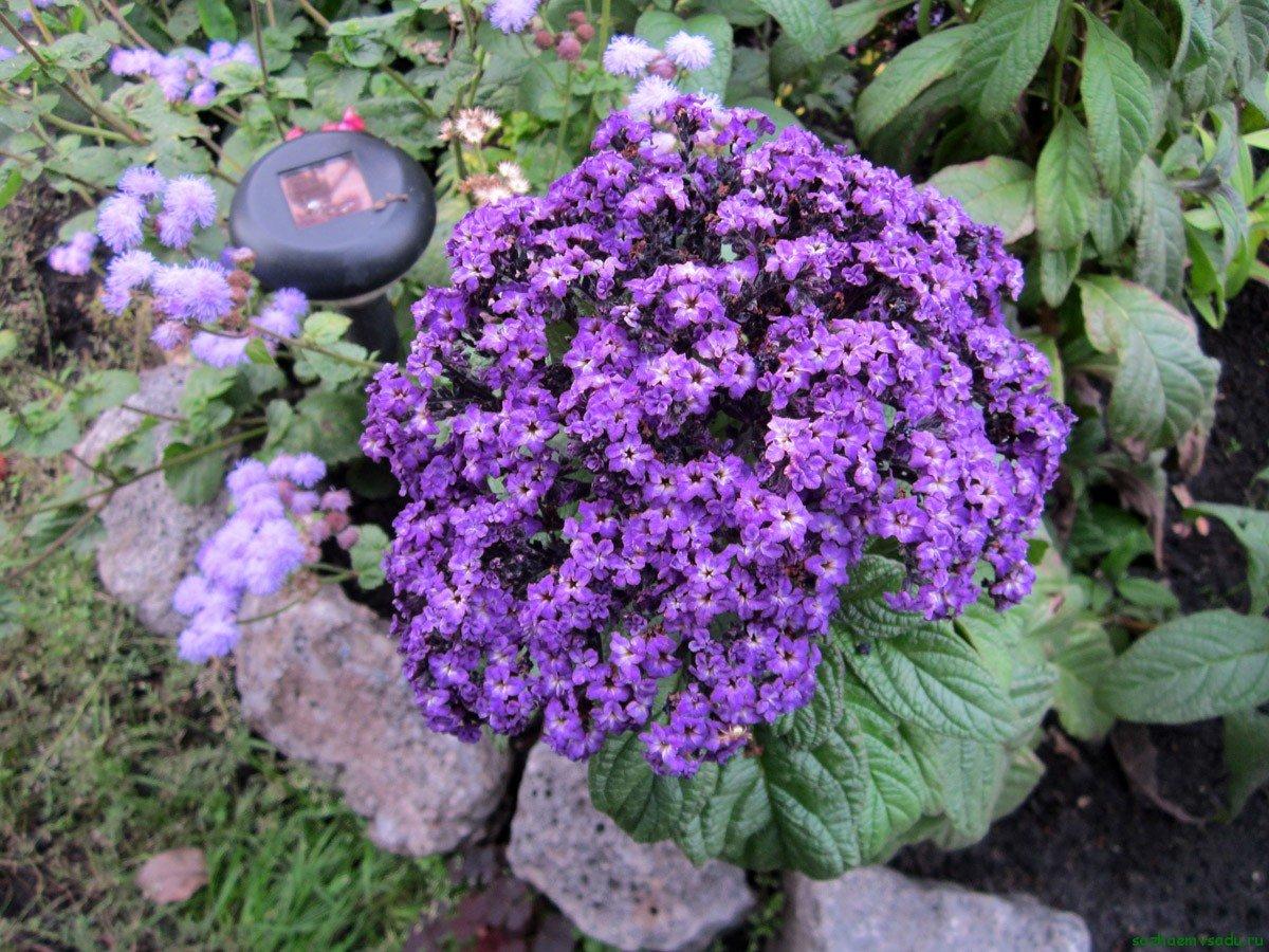 Гелиотроп - цветок солнца