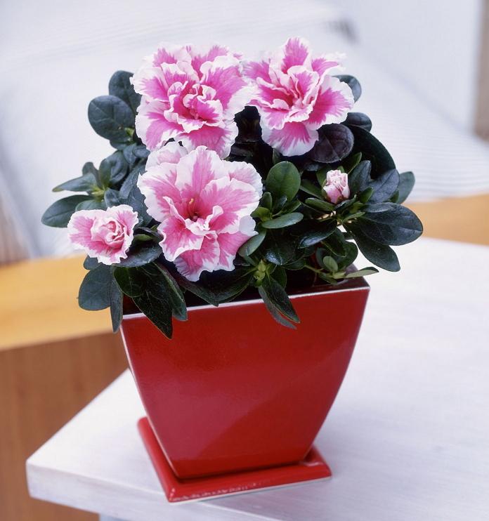 Азалия - капризная красавица