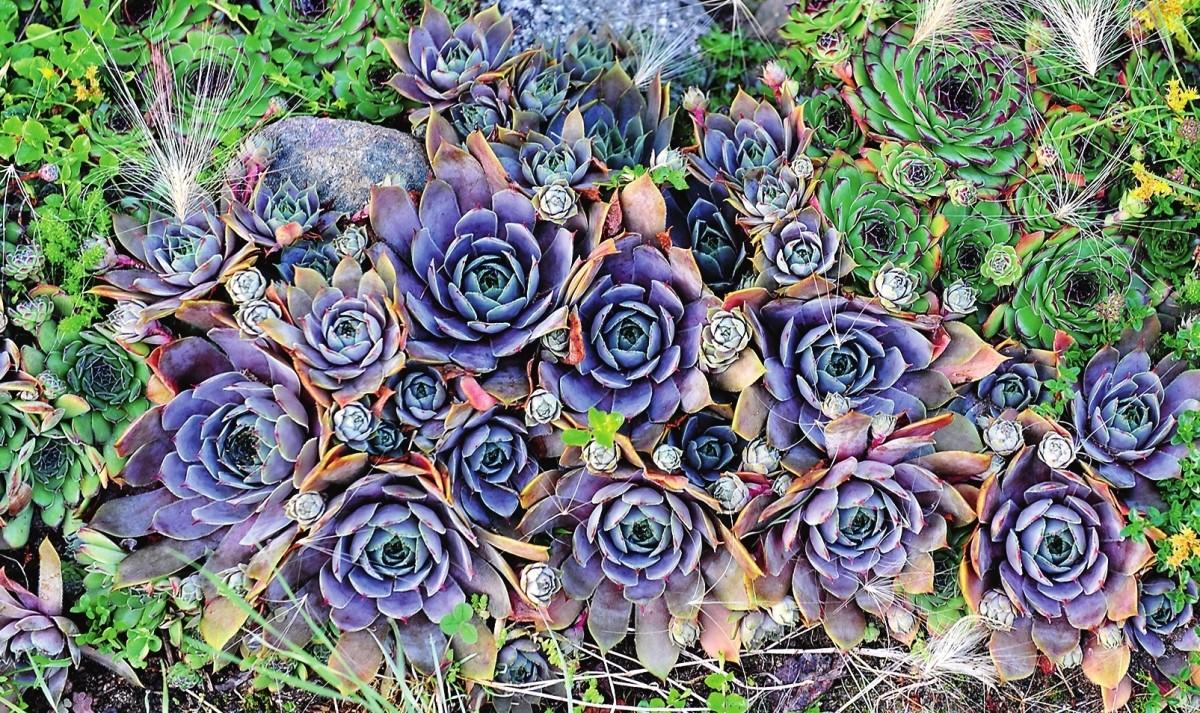 Каменная роза - величественный цветок, не требующий ухода!