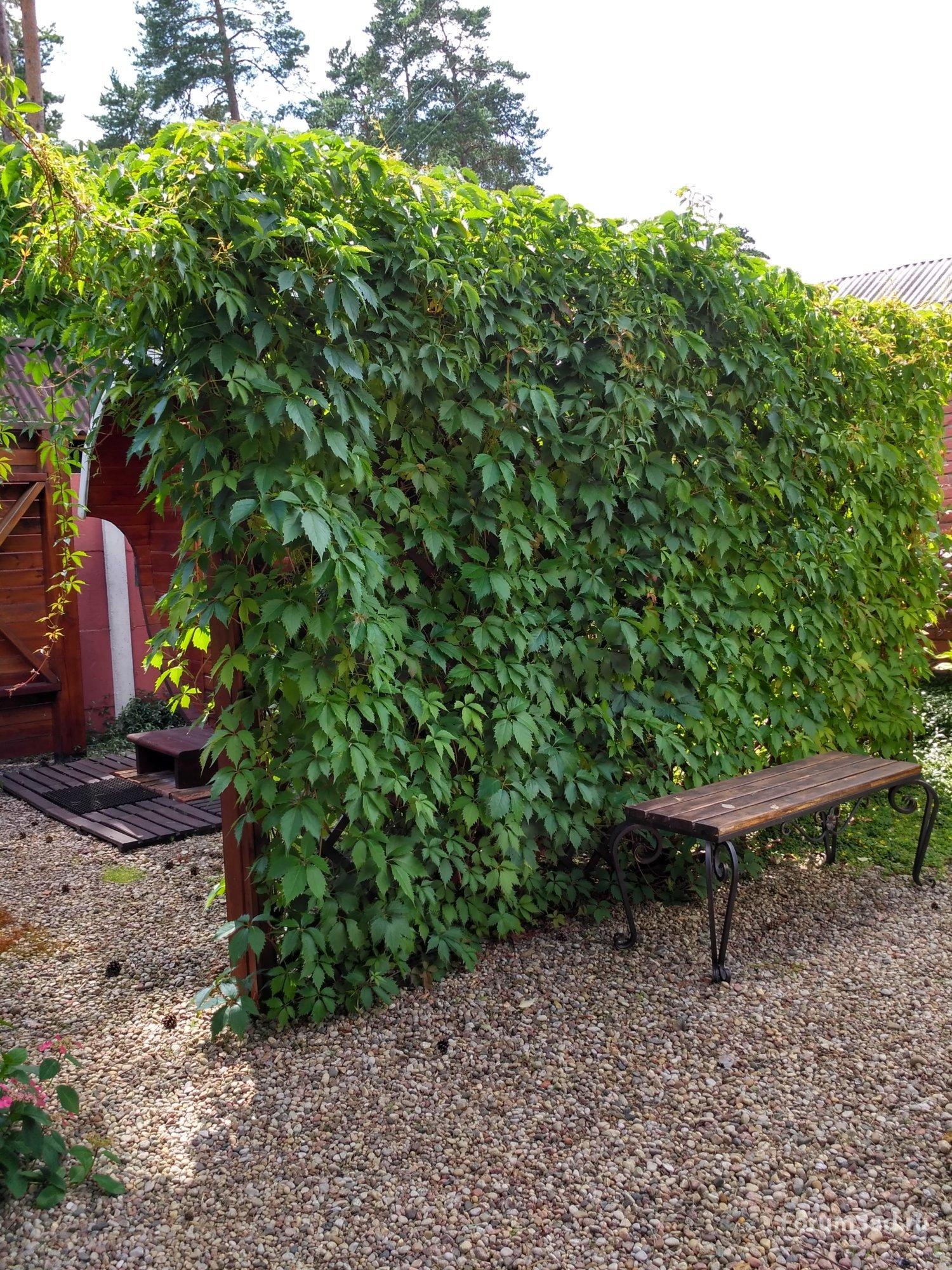 Дикий виноград -  декоративный помощник  или источник проблем?