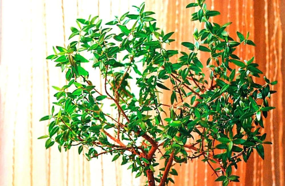 Миртовое дерево - символ добра и мира в семье!