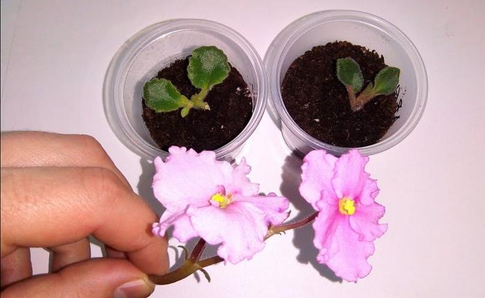 Ночная фиалка - посев, особенности выращивание и ухода