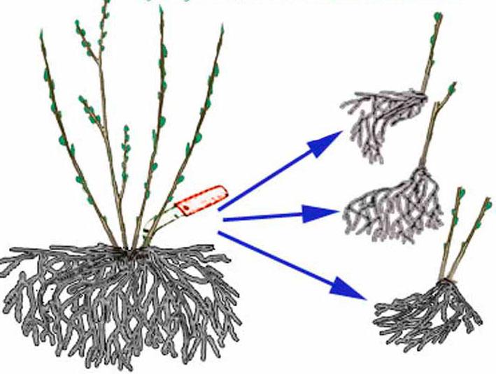 Яркий вербейник -  основные правила ухода за растением