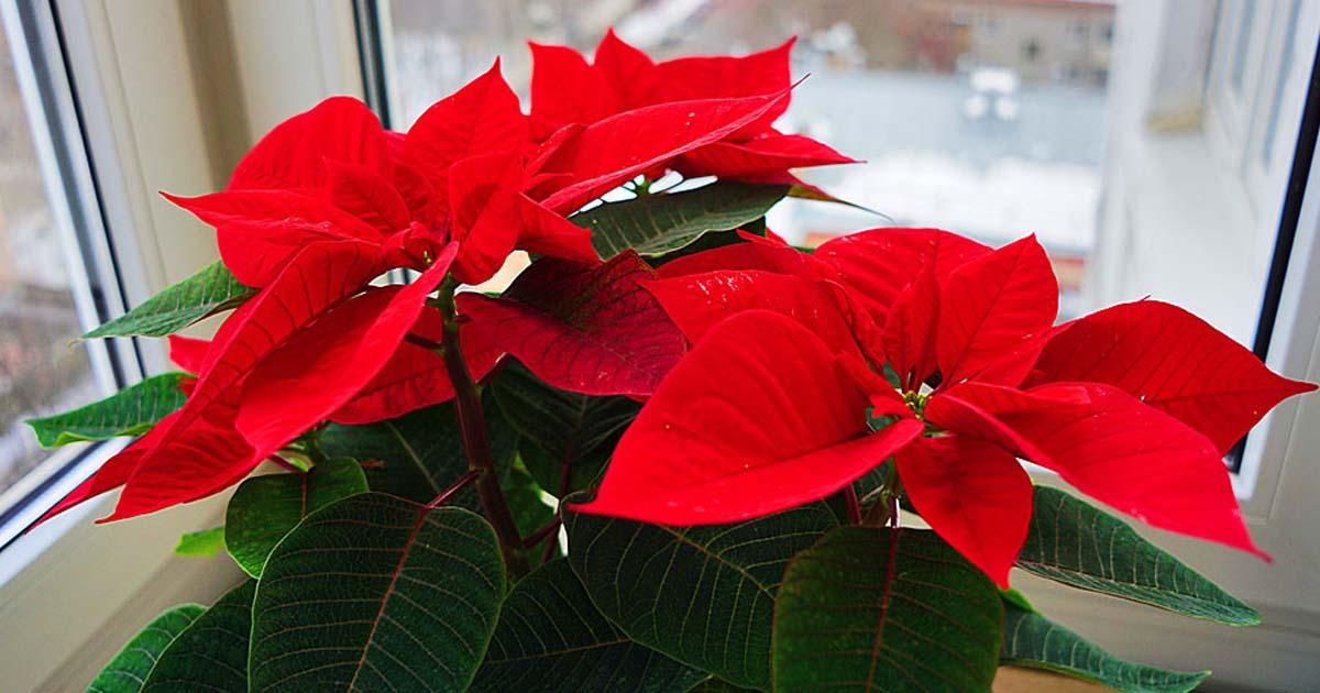 Пуансеттия – рождественская звезда, цветущая на подоконнике