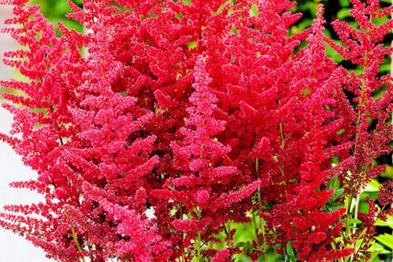 Астильба –  знаменитый фаворит теневых садов!