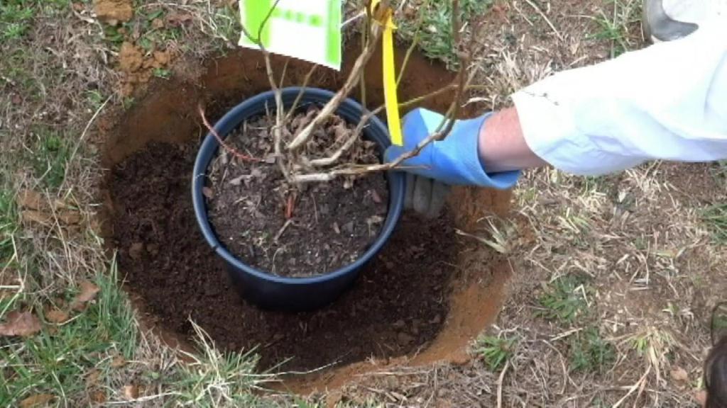 Голубика: садовые виды, уход и способы размножения