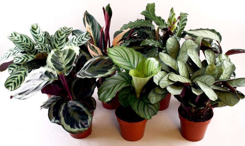 Калатея - необычное, красивое растение