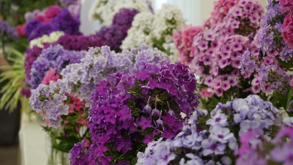 Флоксы – желанные гости для любого цветника