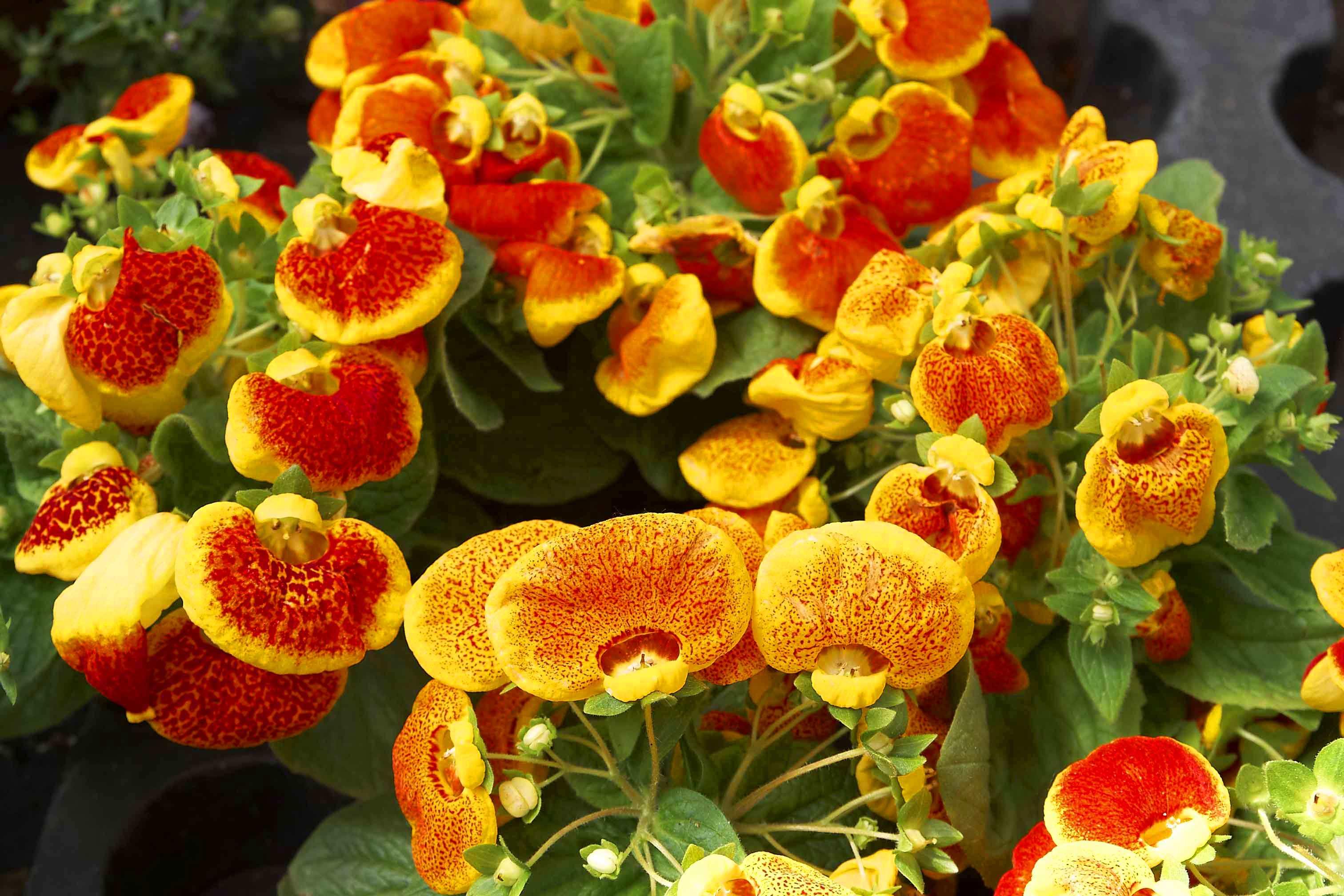 Кальцеолярия — яркие башмачки