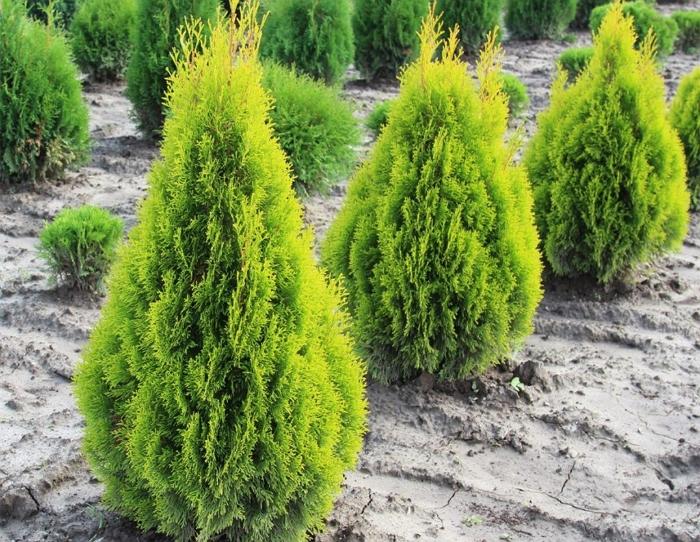 Пластичная туя: советы по выращиванию,  уходу и размножению