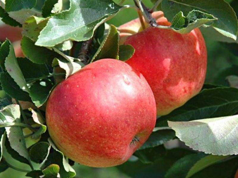 Самые популярные сорта яблонь: ранние, летние, осенние, зимние