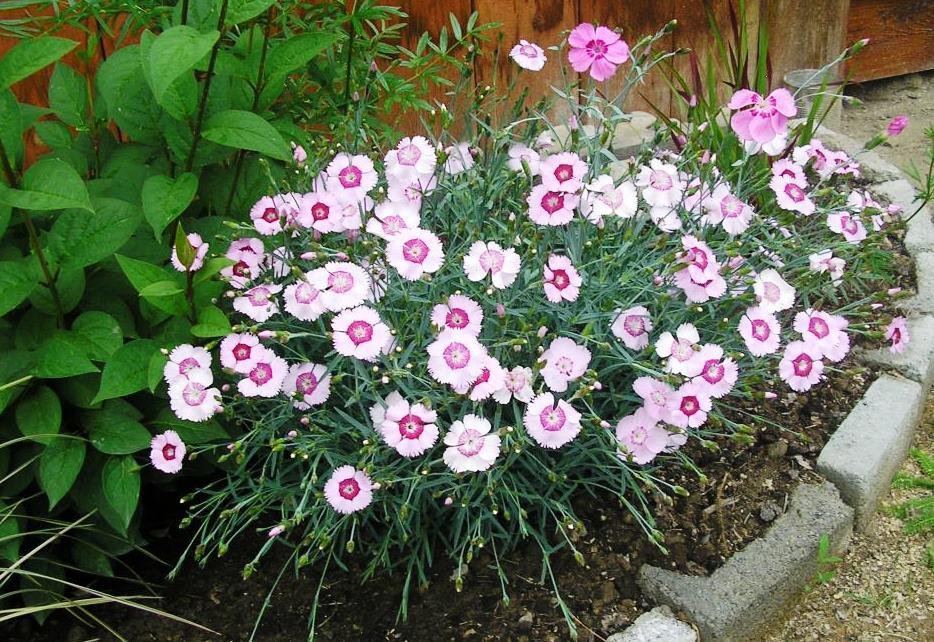 Гвоздика садовая многолетняя - посадка, выращивание и уход