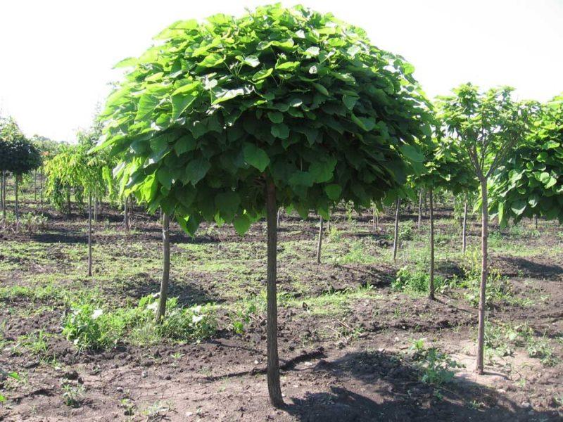 Экзотическое дерево Катальпа
