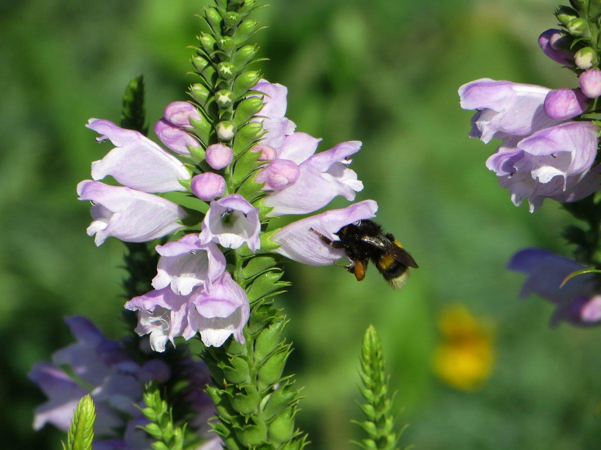 Неприхотливый многолетний цветок физостегия